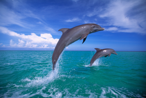 Central America「Bottlenose dolphins (Tursiops truncatus) leaping out of sea」:スマホ壁紙(10)