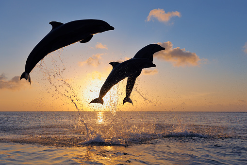 Whale「Bottlenose dolphins, Tursiops truncatus, jumping in caribbean sea at sunset」:スマホ壁紙(14)