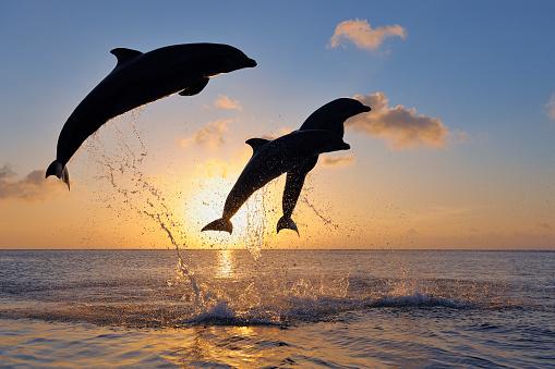 Bottle-nosed Dolphin「Bottlenose dolphins, Tursiops truncatus, jumping in caribbean sea at sunset」:スマホ壁紙(5)