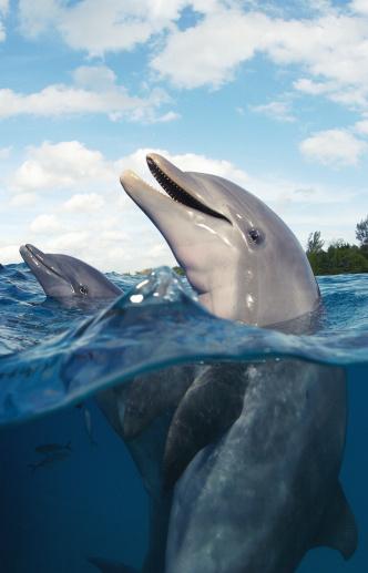 Tame「Bottlenose dolphins (Tursiops truncatus), surface view」:スマホ壁紙(18)