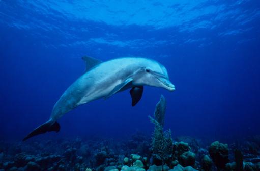 Well-dressed「bottlenose dolphin,tursiops truncatus,underwater,providenciales」:スマホ壁紙(18)