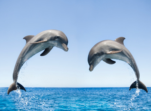 Central America「Bottlenose Dolphins jumping」:スマホ壁紙(14)