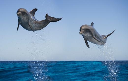 Central America「Bottlenose Dolphins jumping」:スマホ壁紙(15)