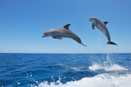 Central America「Bottlenose dolphin (Tursiops truncatus).」:スマホ壁紙(8)