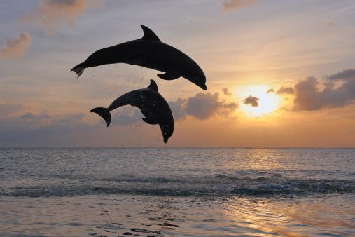 イルカ「Bottlenose dolphin」:スマホ壁紙(19)