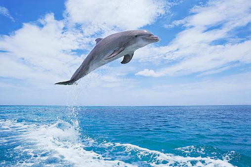 Bay Islands「Bottlenose dolphin (Tursiops truncatus).」:スマホ壁紙(18)