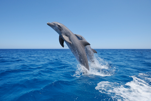 Central America「Bottlenose dolphin jumping」:スマホ壁紙(16)