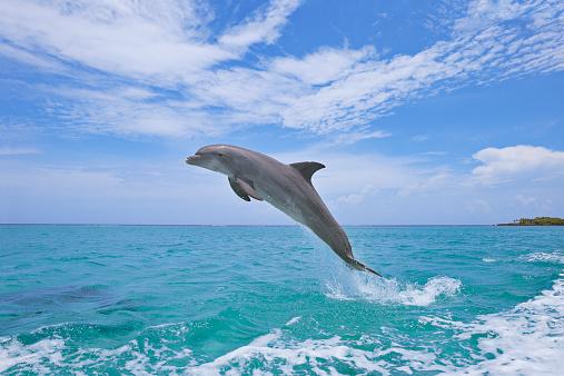 Bay Islands「Bottlenose dolphin, jumping」:スマホ壁紙(19)