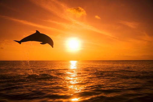 Dolphin「Bottlenose Dolphin (Tursiops truncatus) jumping out of water, sunset」:スマホ壁紙(4)