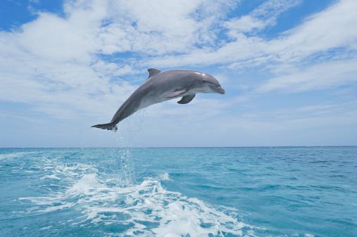 イルカ「Bottlenose dolphin jumping」:スマホ壁紙(9)