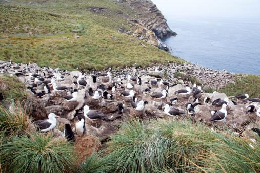 Falkland Islands「Rockhopper penguins and Black-browed Albatrosses」:スマホ壁紙(9)
