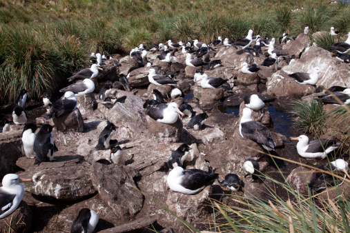 Falkland Islands「Rockhopper penguins and Black-browed Albatrosses」:スマホ壁紙(6)