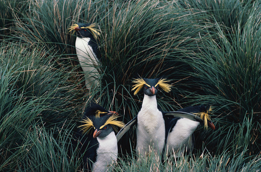 Rockhopper Penguin「Rockhopper Penguins in Grass」:スマホ壁紙(10)