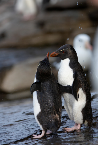 Rockhopper Penguin「Rockhopper penguins (Eudyptes chrysocome) on rock」:スマホ壁紙(11)