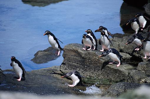 Falkland Islands「Rockhopper Penguins on Rocks」:スマホ壁紙(14)