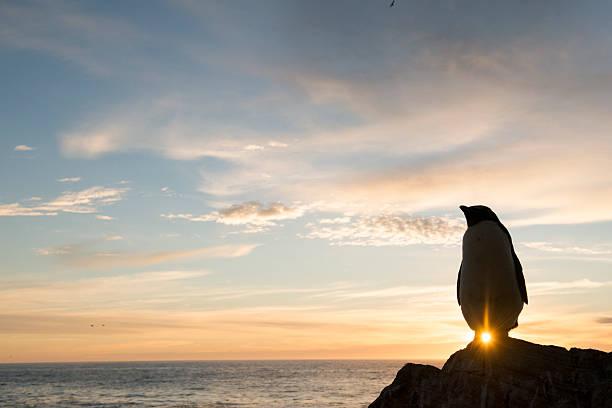 Rockhopper penguin at sunset:スマホ壁紙(壁紙.com)