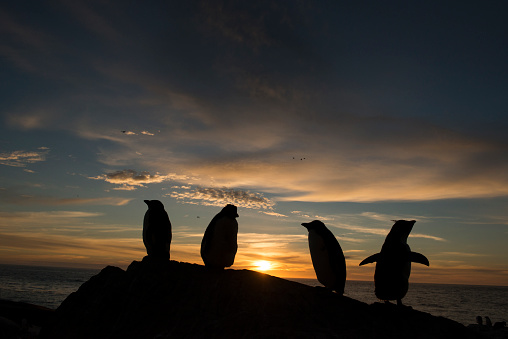 Rockhopper Penguin「Rockhopper penguins at sunset」:スマホ壁紙(5)