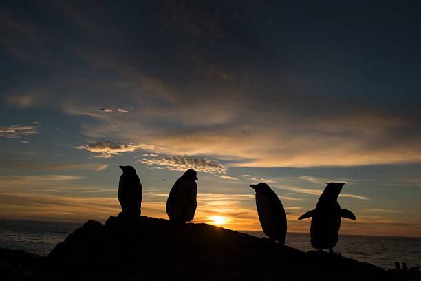 Rockhopper penguins at sunset:スマホ壁紙(壁紙.com)