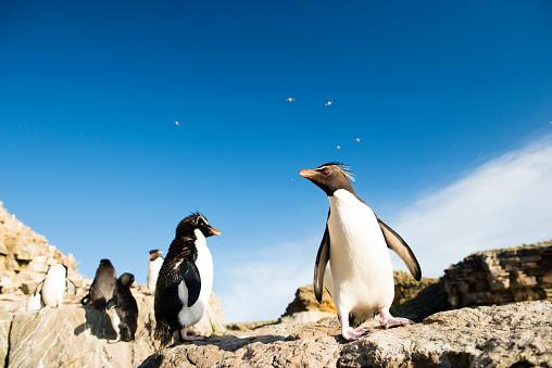 Falkland Islands「Rockhopper penguins」:スマホ壁紙(10)