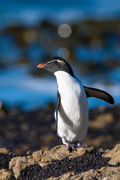 Rockhopper Penguin Looking Backward on the Falkland Islands:スマホ壁紙(壁紙.com)