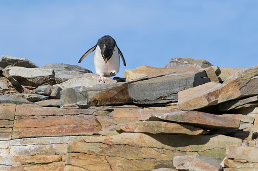 Rockhopper Penguin「Rockhopper Penguin Getting Ready to Jump」:スマホ壁紙(8)