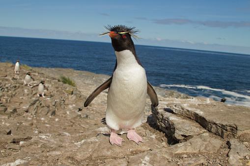 Falkland Islands「Rockhopper Penguin at colony on Bleaker Island, Falklands」:スマホ壁紙(13)