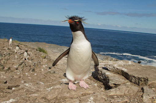 Falkland Islands「Rockhopper Penguin at colony on Bleaker Island, Falklands」:スマホ壁紙(2)