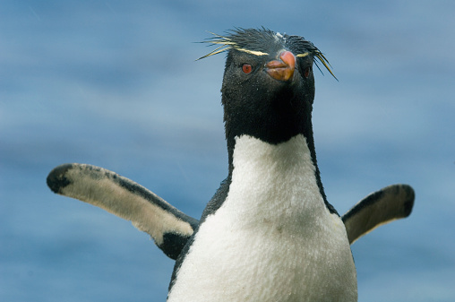 Rockhopper Penguin「Rockhopper penguin (Eudyptes chrysocome)」:スマホ壁紙(9)