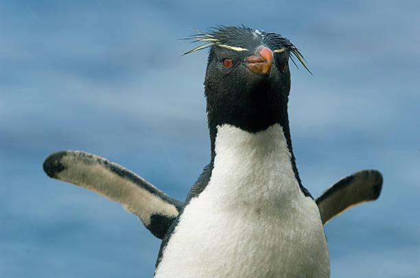 Rockhopper penguin (Eudyptes chrysocome):スマホ壁紙(壁紙.com)