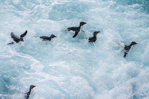 Falkland Islands「Rockhopper penguin (Eudyptes chrysocome)」:スマホ壁紙(11)