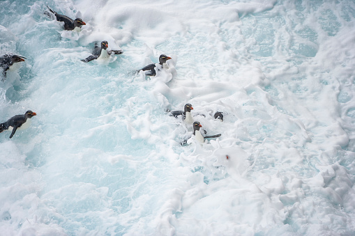 Falkland Islands「Rockhopper penguin (Eudyptes chrysocome)」:スマホ壁紙(7)