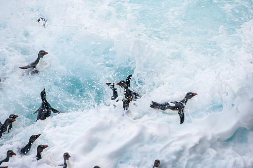 Falkland Islands「Rockhopper penguin (Eudyptes chrysocome)」:スマホ壁紙(8)