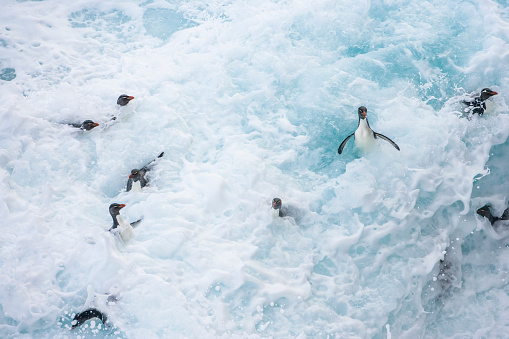 Falkland Islands「Rockhopper penguin (Eudyptes chrysocome)」:スマホ壁紙(1)