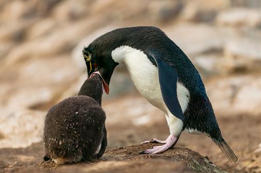 Falkland Islands「rockhopper penguin (Eudyptes chrysocome)」:スマホ壁紙(14)