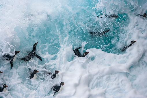 Falkland Islands「Rockhopper penguin (Eudyptes chrysocome)」:スマホ壁紙(4)