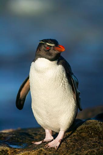 Falkland Islands「rockhopper penguin (Eudyptes chrysocome)」:スマホ壁紙(13)