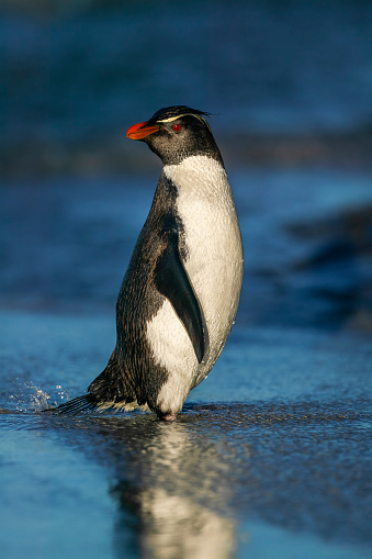 Falkland Islands「rockhopper penguin (Eudyptes chrysocome)」:スマホ壁紙(2)