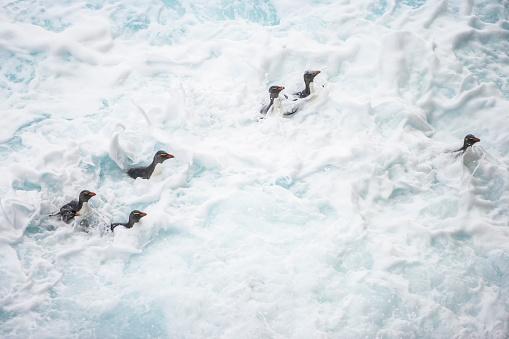 Falkland Islands「Rockhopper penguin (Eudyptes chrysocome)」:スマホ壁紙(5)