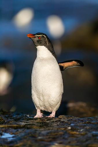 Falkland Islands「rockhopper penguin (Eudyptes chrysocome)」:スマホ壁紙(3)