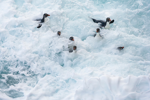 Falkland Islands「Rockhopper penguin (Eudyptes chrysocome)」:スマホ壁紙(0)