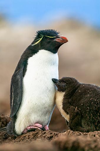 Falkland Islands「rockhopper penguin (Eudyptes chrysocome)」:スマホ壁紙(19)