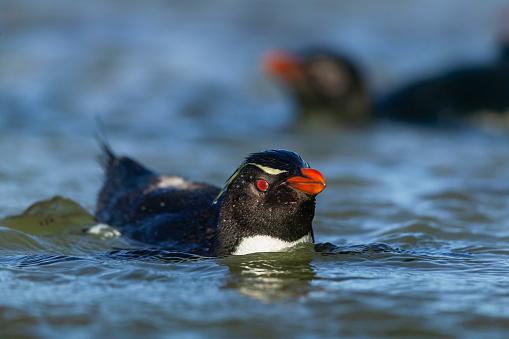 Falkland Islands「rockhopper penguin (Eudyptes chrysocome)」:スマホ壁紙(12)