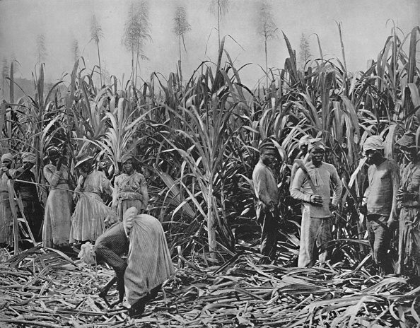 Sugar Cane「Cane-Cutters In Jamaica」:写真・画像(6)[壁紙.com]