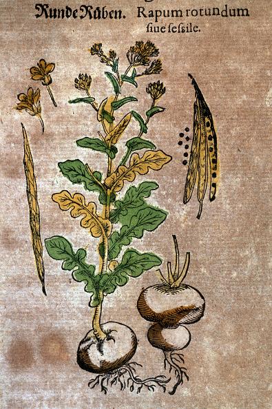Brassica rapa「Turnip」:写真・画像(7)[壁紙.com]