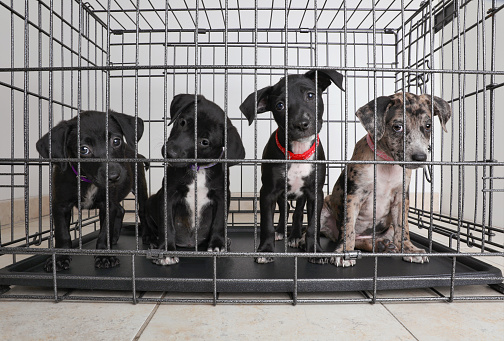 Mammal「Litter of puppies in animal shelter. Catahoula Leopard Dog, Pit Bull Terrier mixed dogs」:スマホ壁紙(3)