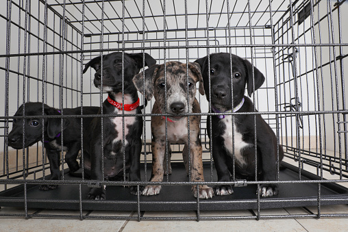 Hunting Dog「Litter of puppies in animal shelter. Catahoula Leopard Dog, Pit Bull Terrier mixed dogs」:スマホ壁紙(14)