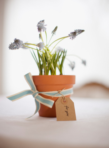 Hyacinth「Potted grape hyacinth flowers with ribbon and gift tag」:スマホ壁紙(13)