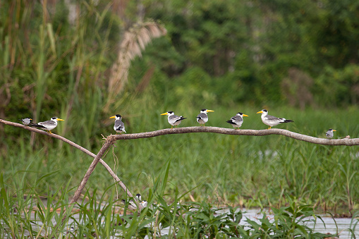 Amazon Rainforest「Large billed terns perched in a row over Amazon River Peru」:スマホ壁紙(6)