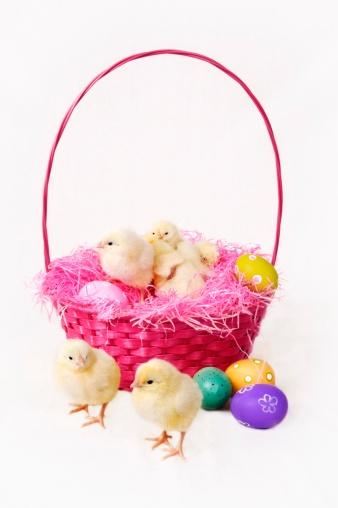 Easter Basket「Baby chickens in an Easter basket」:スマホ壁紙(1)