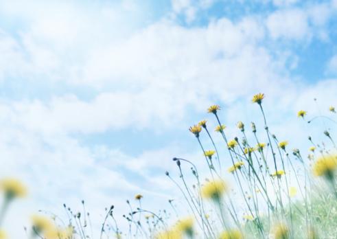 たんぽぽ「Wildfrowers under sky」:スマホ壁紙(3)
